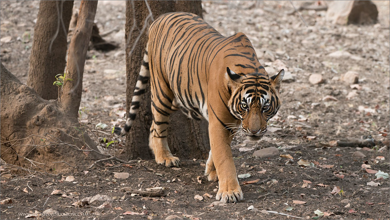 "Please say hello to ""Sultan of Ranthambhore""  (T72) India Tours!<br /> <br /> A dream come true.<br /> <br /> A shot of this spectacular animal, printed large on my wall will be a special moment.  Since I am a big fan of real nature, a bigger fan of wild cats, and the tiger being the most impressive animal on earth, I can only say something better would need to be on some other planet.<br /> <br /> It is very hard to explain the excitement.  Imagine, this animal weighs close to 400 pounds (guess), maybe 500 when it is full grown!<br /> <br /> Huge paws, superb colours, strong and dominant.  Sultan would walk around our safari truck as if he owned the world.  And in some respects, I do wish he did own our world... we would be much better managed!<br /> <br /> The secrets in life are right in front of us - nature is pure and wonderful.<br /> <br /> I hope you have a chance to enjoy our natural world as much as I have, the wonder is unlimited.<br /> <br /> Thanks to all my friends and partners in India, I am totally confident in hosting incredible tours here to safely conduct safaris for amazing wildlife.  Security and comfort for my guests are my top priorities while traveling on tour.<br /> <br /> Royal Bengal Tiger<br /> RJB Royal Bengal Tiger Tours<br />  <a href=""http://www.raymondbarlow.com"">http://www.raymondbarlow.com</a><br /> 1/100s f/5.6 at 280.0mm iso640"
