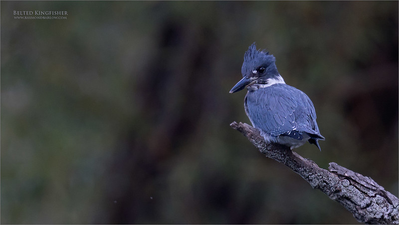 Belted Kingfisher Series - 1 of 4<br /> <br /> Equipment supported by Jobu Design Tripods and Gimbal heads<br /> Contact me for more info on discount pricing!<br /> <br /> We drove to a nice pond that has been  busy with a kingfisher family, and we had some luck!   I believe this is a first year bird, learning to hunt for itself.<br /> <br /> It seemed to be very comfortable with my lens on it for about 40 minutes.  After many shots, she then she flew over to have a close look at me, much to my surprise.<br /> <br /> I will share a few more shots from this encounter, coming this week.  for me, this is easily the most difficult bird to capture here in Ontario, Canada,   So I was happy to catch a few shots.<br /> <br /> Also, using the 1.4 tele-converter, and the apc-c sensor setting on the camera gave me some extra reach.  She was close to 60 yards away!<br /> <br /> Thanks for looking!<br /> <br /> raymondjbarlow@yahoo.ca