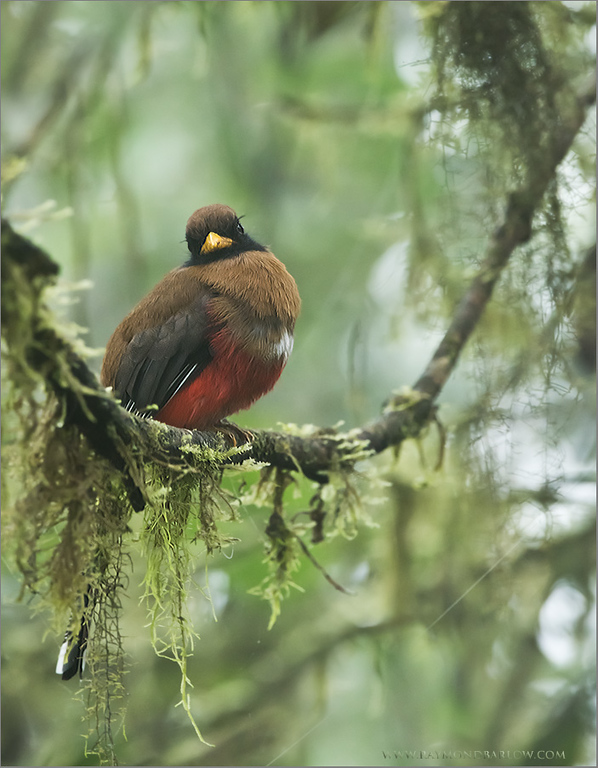 Female Masked Trogon in the Cloud Forest<br /> Raymond's Ecuador Photography Tours<br /> <br /> ray@raymondbarlow.com<br /> Nikon D810 ,Nikkor 200-400mm f/4G ED-IF AF-S VR<br /> 1/50s f/6.3 at 400.0mm iso2000