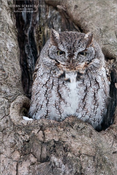 A nice looking Eastern screech owl, taken today in Niagara.  The wind was calm in the woods, so I could turn down the ISO,  A low ISO setting will give me a slow shutter speed, but on a stable tripod and gimbal head, with no wind, everything works fine.  (so long as the owl stays still!)<br /> <br /> Fresh country air, and true nature.  It doesn't get better!<br /> <br /> Jobu Algonquin Tripod and Jr. Deluxe gimbal.<br /> <br /> Thanks for looking!