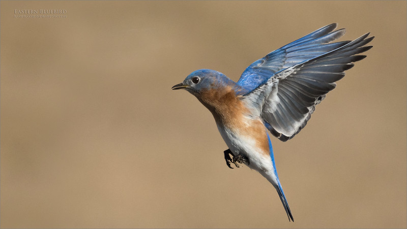 Ontario!  Not Tanzania!<br /> <br /> Eastern bluebird coming in for a landing. <br /> <br /> The pairing off and preparation for nesting has begun.  Superb light this morning, and some great fun shooting with my guest and friend Harry.<br /> <br /> We will be back soon!<br /> <br /> workshops - ray@raymondbarlow.com