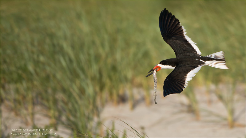 Black Skimmer in Flight with Dinner<br /> Raymond Barlow Photo Tours to USA - Wildlife and Nature<br /> <br /> ray@raymondbarlow.com<br /> Nikon D800 ,Nikkor 200-400mm f/4G ED-IF AF-S VR<br /> 1/4000s f/4.0 at 400.0mm iso320