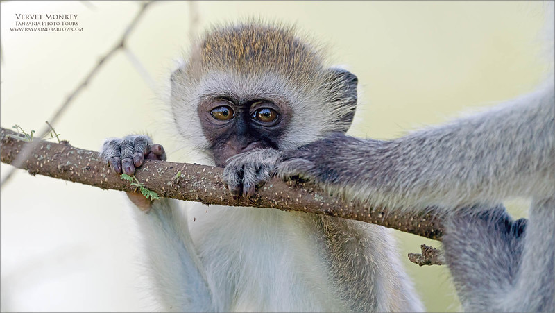 Vervet Monkey Juvenile.<br /> <br /> It seems that these monkeys are all about cute!<br /> <br /> From a photographer's point of view, we look for something interesting in photographs, either from an artistic point of view, or an academic perspective.<br /> <br /> So with this shot, we look at the cuteness factor!  Some video of these characters playing around, fighting, wrestling, foraging for food would have been much more interesting, but with so many people around and the noise of trucks and cameras, we do what we can!<br /> <br /> Traveling around from scene to scene, we all enjoy a wide diversity of subjects and situations.  the interest level in scouting out something to shoot is amazing.  The concentration never stops!  <br /> <br /> So we are up and having coffee and eggs before the sun, then into the safari truck about 6:30 am, sunrise time.  Usually within 1-2 kilometers of camp, we find something!  <br /> <br /> We could have an eagle, a cheetah, some birds, a stork, we never know what is around the corner.  I will make a plan with our driver to have a sense of direction, from there we game drive our way to the mating lions, or the flamingos... maybe a leopard.  It all depends on what is on the radar.<br /> <br /> Photo Safaris in Tanzania could not be better, anywhere.  After 6 completed tours, you might think I have had enough?  Not a chance.  12,000 image this trip, and I am anxious like crazy to get on my way back to the world of nature.<br /> <br /> Real nature.<br /> <br /> Thanks for looking!