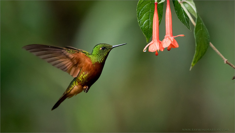 """Chestnut-breasted Coronet<br /> The latest tour to Ecuador was superb! below, one of my favourite shots. Thanks for looking.<br /> <br />  <a href=""""http://www.raymondbarlow.com"""">http://www.raymondbarlow.com</a><br /> ray@raymondbarlow.com<br /> Nikon D810 ,Nikkor 200-400mm f/4G ED-IF AF-S VR<br /> 1/800s f/4.0 at 360.0mm iso3200"""
