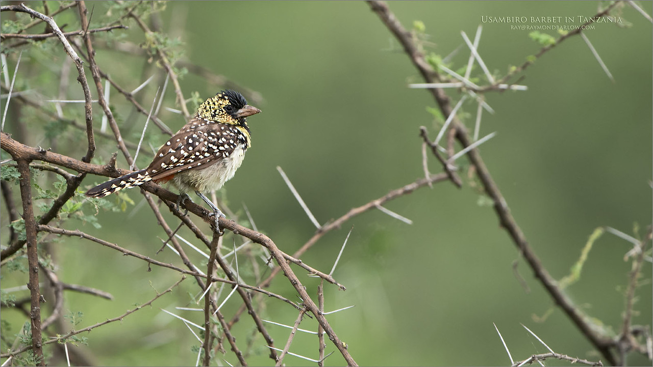 Usambiro barbet in Tanzania<br /> Raymond Barlow Photo Tours to Tanzania Wildlife and Nature<br /> <br /> ray@raymondbarlow.com<br /> Nikon D850 ,Nikkor 200-400mm f/4G ED-IF AF-S VR<br /> 1/320s f/4.0 at 400.0mm iso400