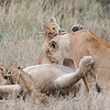 Lion Family<br /> RJB Tanzania, Africa Tours<br /> <br /> ray@raymondbarlow.com<br /> 1/40s f/7.1 at 400.0mm iso400