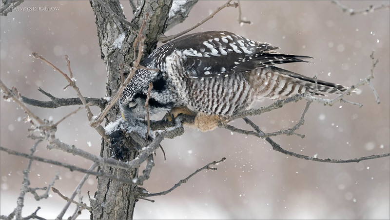 "In this 2 image set - So here the hawk owl struggles with it's cache, as the wet snow we had previously has frozen the food to the trunk of the tree.  So off it goes, moving on to another meal in a small pine tree, but we were too far to see how successful this owl was with its second choice.<br /> <br /> Northern Hawk Owl with Lunch 1<br /> Ontario, Canada<br /> <br />  <a href=""http://www.raymondbarlow.com"">http://www.raymondbarlow.com</a><br /> Sony Alpha α7R IV ,Sony 100-400GM<br /> 1/800s f/5.6 at 318.0mm iso640<br /> <br /> My comments regarding the ""mob"" scene at the owl location north of Toronto.<br /> <br /> Several times I have seen the owl so close to the road, within 6-12 feet of large delivery trucks driving by., and completely indifferent to the situation. I am happy this bird came to visit us, and is sharing its natural life with nature enthusiasts of all kinds. the bird is completely undisturbed by humans.<br /> <br /> Obviously like your back yard birds, it would leave if there was an issue. How many times have you got in your car and slammed your door to flush birds, how many times have you driven by a bird who flew away because you were too close. This is the reality of humans on earth interacting with nature. If a lion was walking through your local park, you and your family would scatter. this is nature.<br /> <br /> The photographers who share the beauty of these birds will help everyone appreciate the beauty of nature, so long as they are respectful. Yes, a few bad ones will give us all a bad name, as they act like delinquent morons, but that again is life on earth.<br /> <br /> Drive down the 401, and you will see a ton of those idiots who have no respect. Again, that's life on earth. We all have to deal with it, as frustrating as it is.<br /> <br /> We cannot avoid causing interruptions to natures world. And please keep in mind, this is a free country, people have a right to go to a mall with mobs of people shopping, people have a right to stand on the road taking photos of the real world.<br /> <br /> There is no way to avoid interacting with nature, no matter where you are or what your doing, nature is taking a real hard level of disrespect from our human race. We need to embrace nature, and learn to change our lifestyle, and hopefully reduce the contamination as a result of humans on this planet.<br /> <br /> We need to support companies who are developing the ""green"" culture in this world, moving towards a sustainable future for our children. Greed and profit need to take a back seat for a while until we clean up this mess.<br /> <br /> I do hope people wake up, and appreciate what we have, and realize the concept of ""more"" needs to be applied to living in a healthier planet."