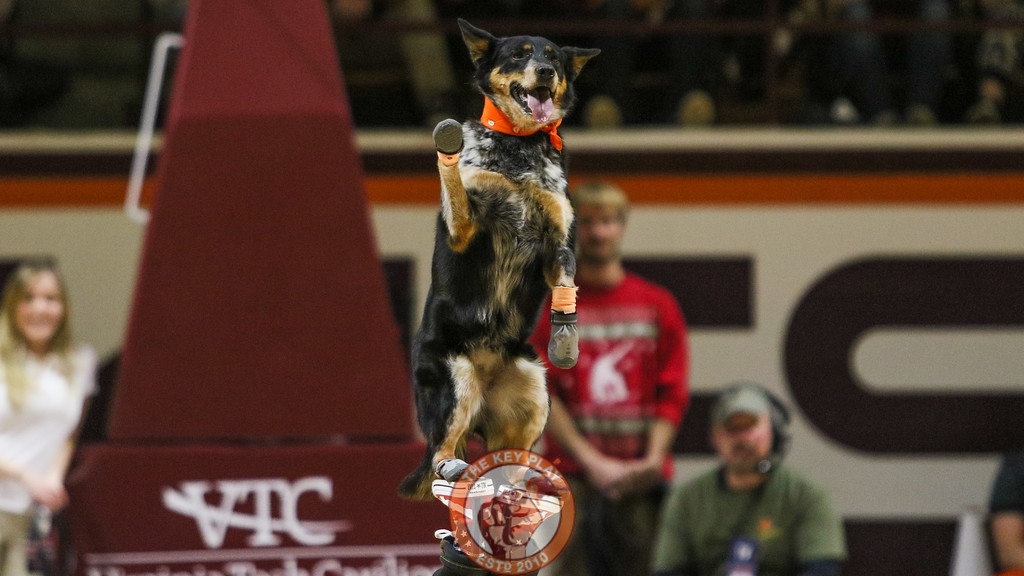 A team of dogs performs a variety of tricks and stunts for the game's halftime show. (Mark Umansky/TheKeyPlay.com)