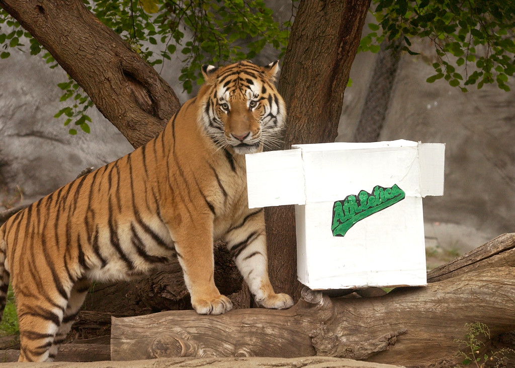 . Booskin, a 3 year old Amur tiger approaches this mock Oakland A\'s pinata filled with hippo feces. It\'s actually a cardboard box made to look like an Oakland A\'s jersey. Booskin eventually dragged it to a small pool where he shreaded it up into little pieces. The Oakland Press/DOUG BAUMAN