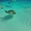 One of the best dive experiences that Dick has ever had -  a sting ray was unusually comfortable with humans, and for some reason decided to swim by and check us out just as a sea turtle swam by, and  then went back to feeding.  It had a wingspan of about 5 feet.