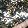 July 1972 - Barn Owl in Tree