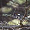 Red-fronted Barbet, Diadembartvogel, Tricholaema diademata