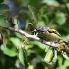 Red-fronted Tinkerbird, Feuerstirn-Bartvogel, Pogoniulus pusillus