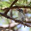 Red-fronted Tinkerbird, feuerstirnbartvogel, Pogoniulus pusillus