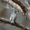 Yellow-fronted Tinkerbird, Gelbstirn-Bartvogel, Pogoniulus chrysoconus