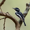 Black-headed Batis - Kongobatis - Batis minor ♂
