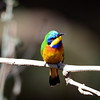 NEAR ENDEMIC   to Horn of Africa  -  Blue-breasted Bee-eater, Blaubrustspint, Merops (variegatus) lafresnayii