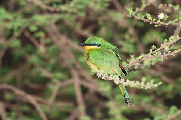 Little Bee-eater, Zwergspint, Merops pusillus