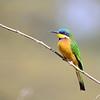 Blue-breasted Bee-eater, Blaubrustspint, Merops ( variegatus) lafresnayii
