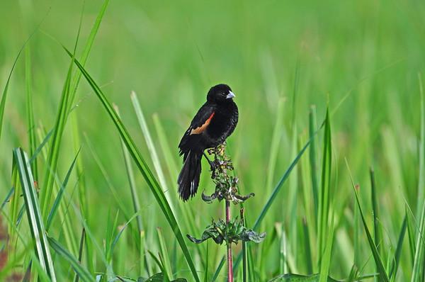 Fan-tailed Widowbird - Stummelwida - Euplectes axillaris ♂