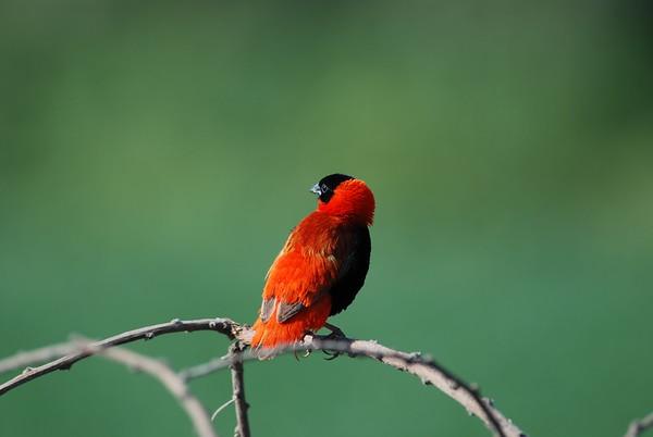 Northern Red Bishop,   Feuerweber,    Euplectes franciscanus ♂