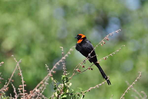Red-collared Widowbird - Schildwida   - Euplectes ardens ♂