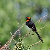 Red-collared Widowbird - Schildwida   - Euplectes ardens ♂