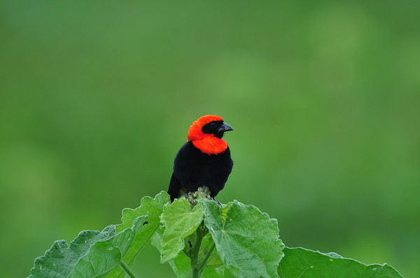 Black-winged Red Bishop, Flammenweber, Euplectes hordeaceus ♂