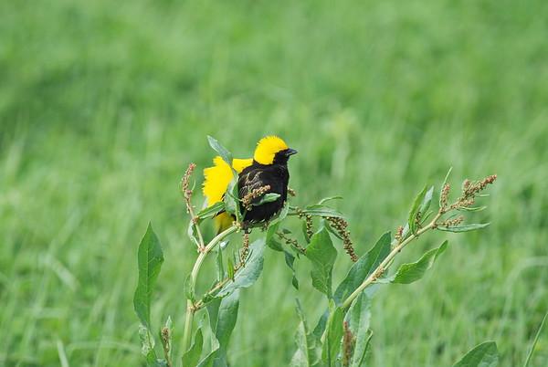 Yellow-crowned Bishop, Tahaweber, Euplectes afer ♂