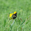 Yellow-crowned Bishop, Tahaweber, Euplectes afer ♂