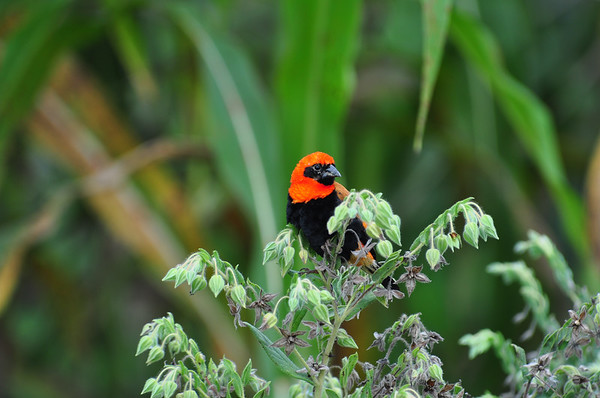 Black-winged Red Bishop, Flammenweber, Euplectes hordeaceus ♂
