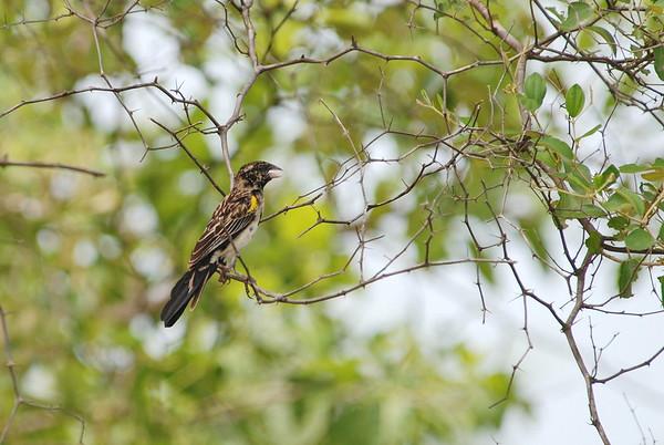 Yellow-mantled Widowbird - Gelbschulterwida - Euplectes macroura  ♂