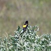 Yellow Bishop - Samtwida - Euplectes capensis ♂