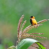 Northern Red Bishop, Feuerweber, Euplectes franciscanus ♂