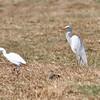 Comparison Yellow-billed Egret - Cattle Egret ------------------- Vergleich  Kuhreiher - Mittelreiher