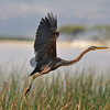 Purple Heron, Purpurreiher, Ardea purpurea