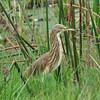 Squacco Heron, Rallenreiher, Ardeola ralloides