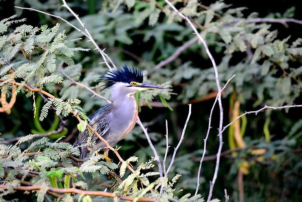 Green-backed Heron, Mangrovenreiher, Butorides striata