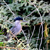 Green-backed Heron, Mangrovenreiher, Butorides striata