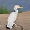 Cattle Egret, Kuhreiher, Bubulcus ibis