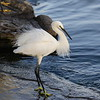 Little Egret, Seidenreiher, Egretta garzetta