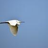Little Egret, Seidenreiher, Egreta garzetta