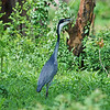 Black-headed heron, Schwarzhalsreiher, Ardea melanocephala