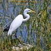 Great Egret, Silberreiher, Egretta alba