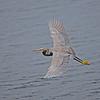 Western Reef Egret, Küstenreiher, Egreta gularis