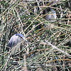 Black-crowned Night Heron, Nachtreiher, Nycticorax nycticorax