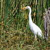 Yellow-billed Egret, Mittelreiher, Egretta intermedia