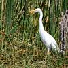 Yellow-billed Egret, Mittelreiher, Egretta intermedia