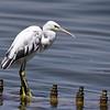 Western Reef Egret, Küstenreiher, Egretta gularis