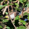 Common Bulbul, Grau Bülbül, Pycnonotus barbatus